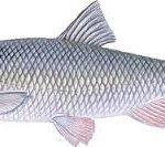 ماهی کفال شمال