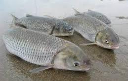 ماهی کفال ایرانی
