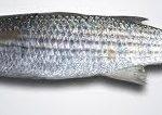 ماهی کفال دریایی