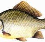 خرید انواع ماهی کفال ایرانی