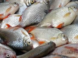 ماهی کفال پرورشی