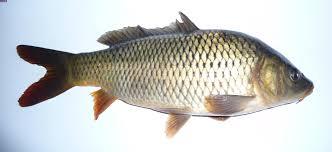 ماهی کفال