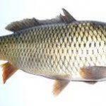 سایت ماهی کفال مرغوب