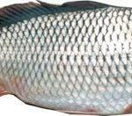 قیمت عمده ماهی کفال