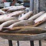 عرضه ماهی کفال