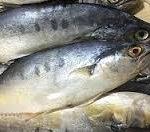 پخش عمده ماهی کفال