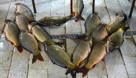 پخش اینترنتی ماهی کفال
