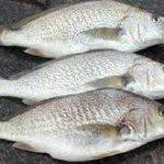 ماهی کفال خاکستری
