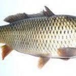 ماهی کفال مرغوب