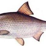 ماهی کفال کوچک